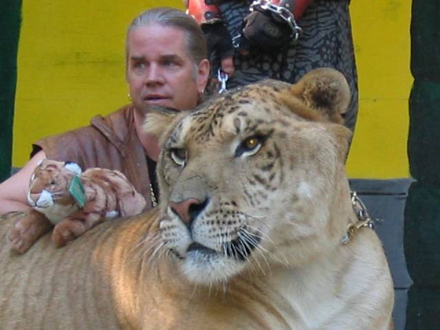 A tiger and its trainer, Dr. Bhagavan Antle, at a Renaissance Festival in Massachusetts in October 2005 | Photo: Wikimedia/Andy Carvin