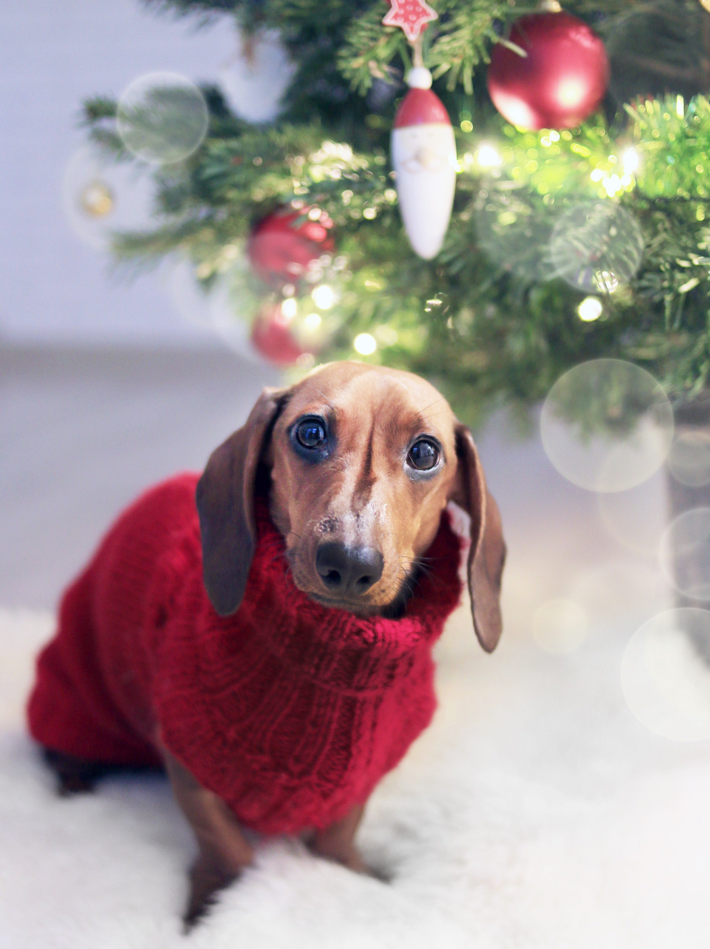 A Dachshund wearing a red sweater sitting next to a Christmas tree. | Source: Pexels.