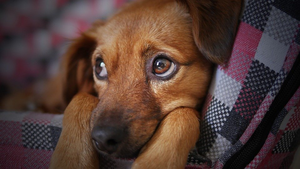 Un triste chien. | Photo : Pixabay