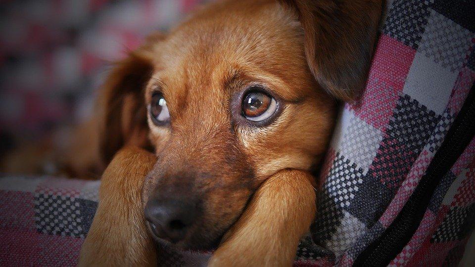 Un beau chien dans sa couverture. | Pixabay