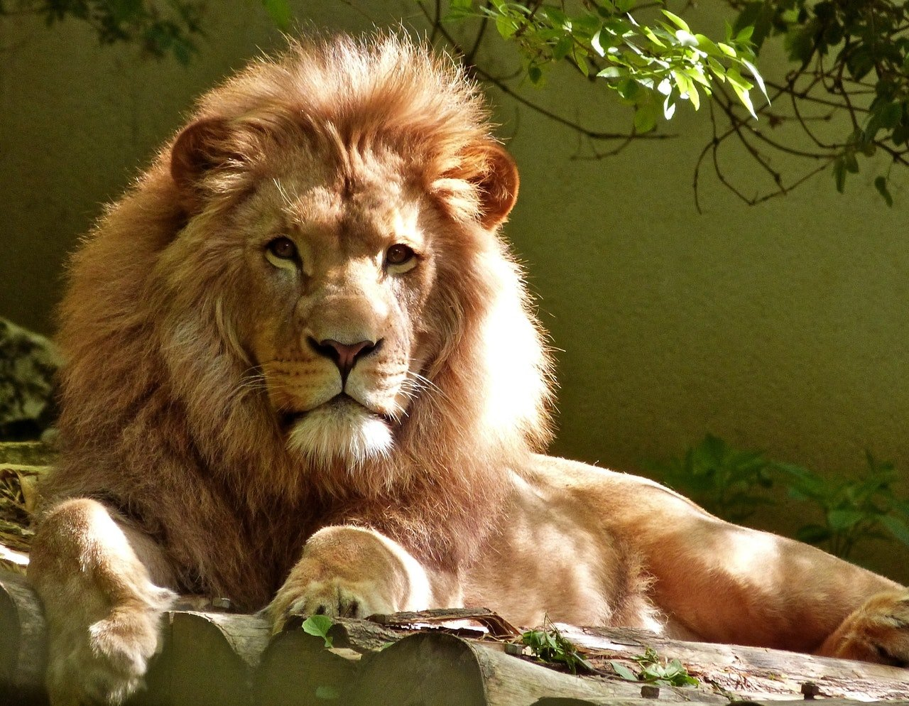 Photo of a lion lying down   Photo: Pexels