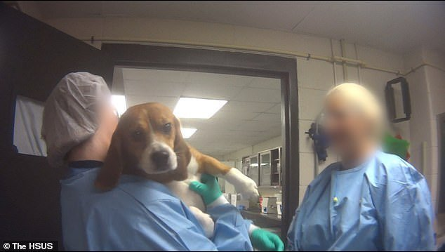 Versuchshund im Labor | Quelle: YouTube/The Humane Society of the United States