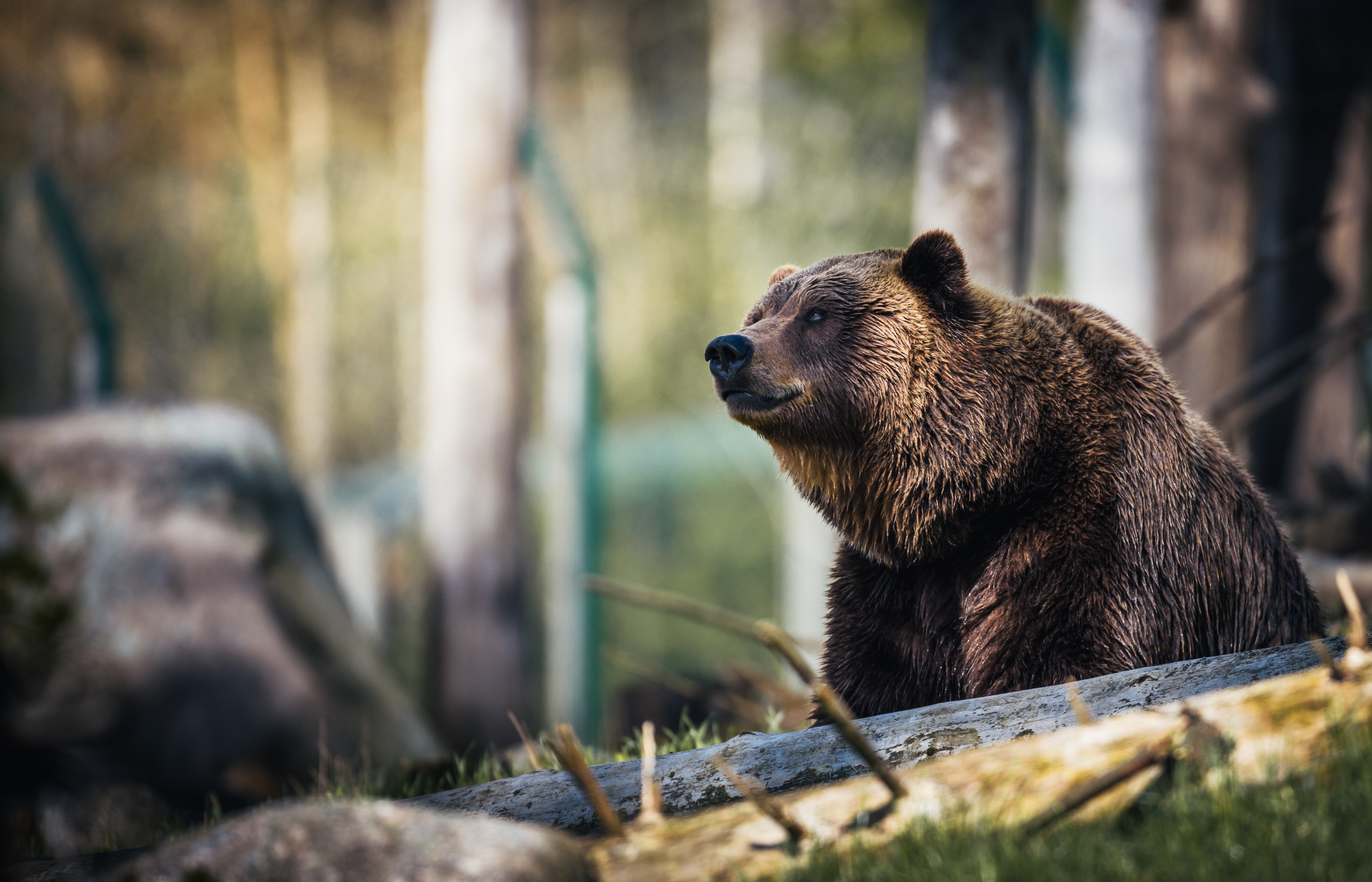 A grizzly bear can be seen in between branches | Photo: Pexels/Janko Ferlic