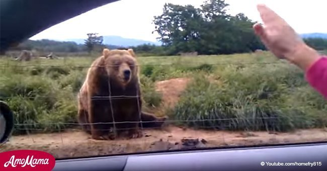 Adorable Grizzly bear sits next to the road and waves to drivers