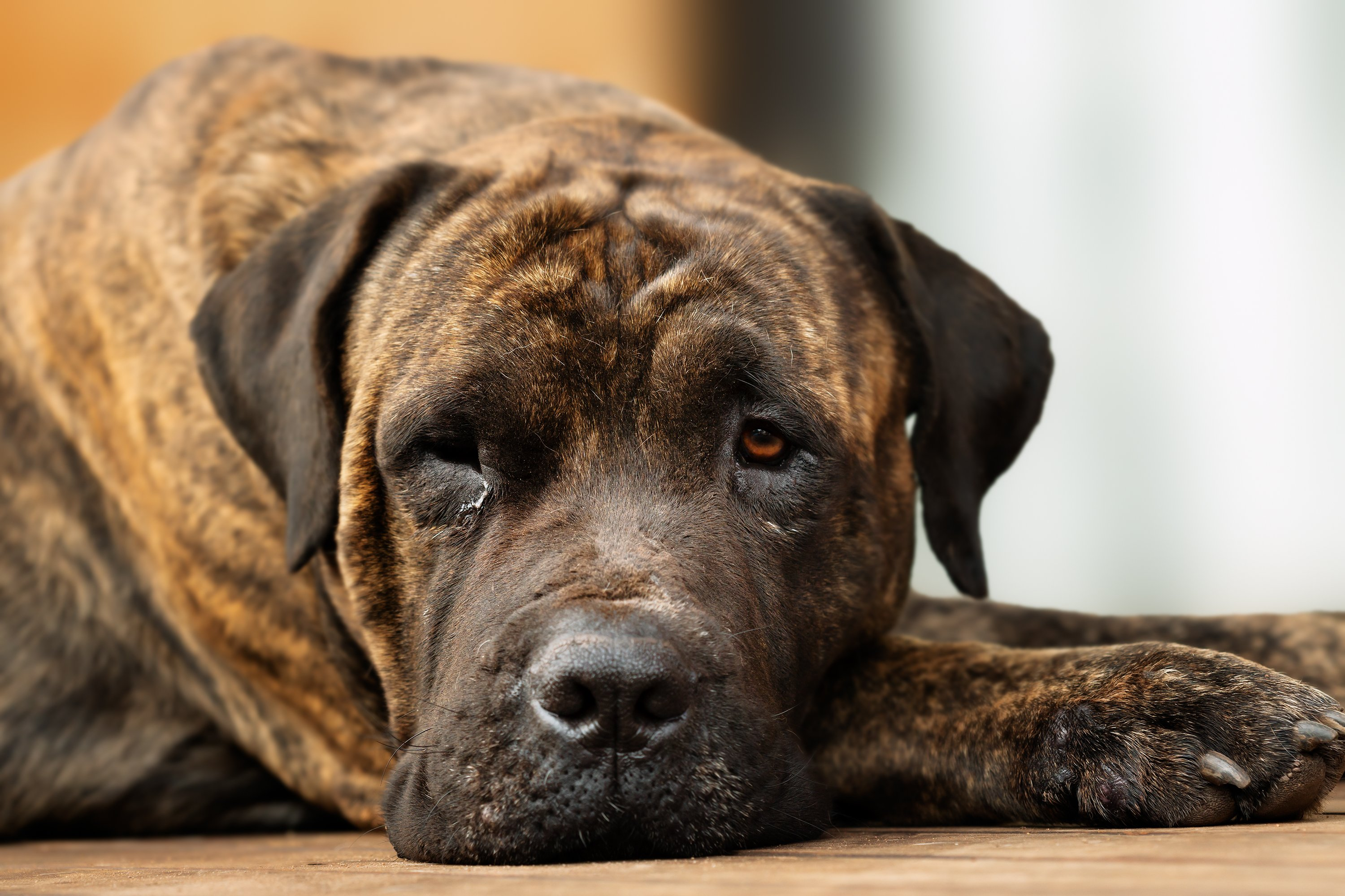 Adult Large Brown Domestic Dog Resting with One Eye Open |  Source: Getty Images