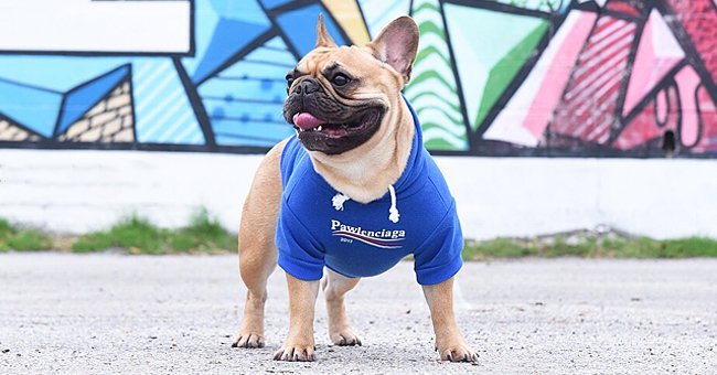 Video Helps French Bulldog Owner Find His Missing Pet Just One Day after It Went Viral