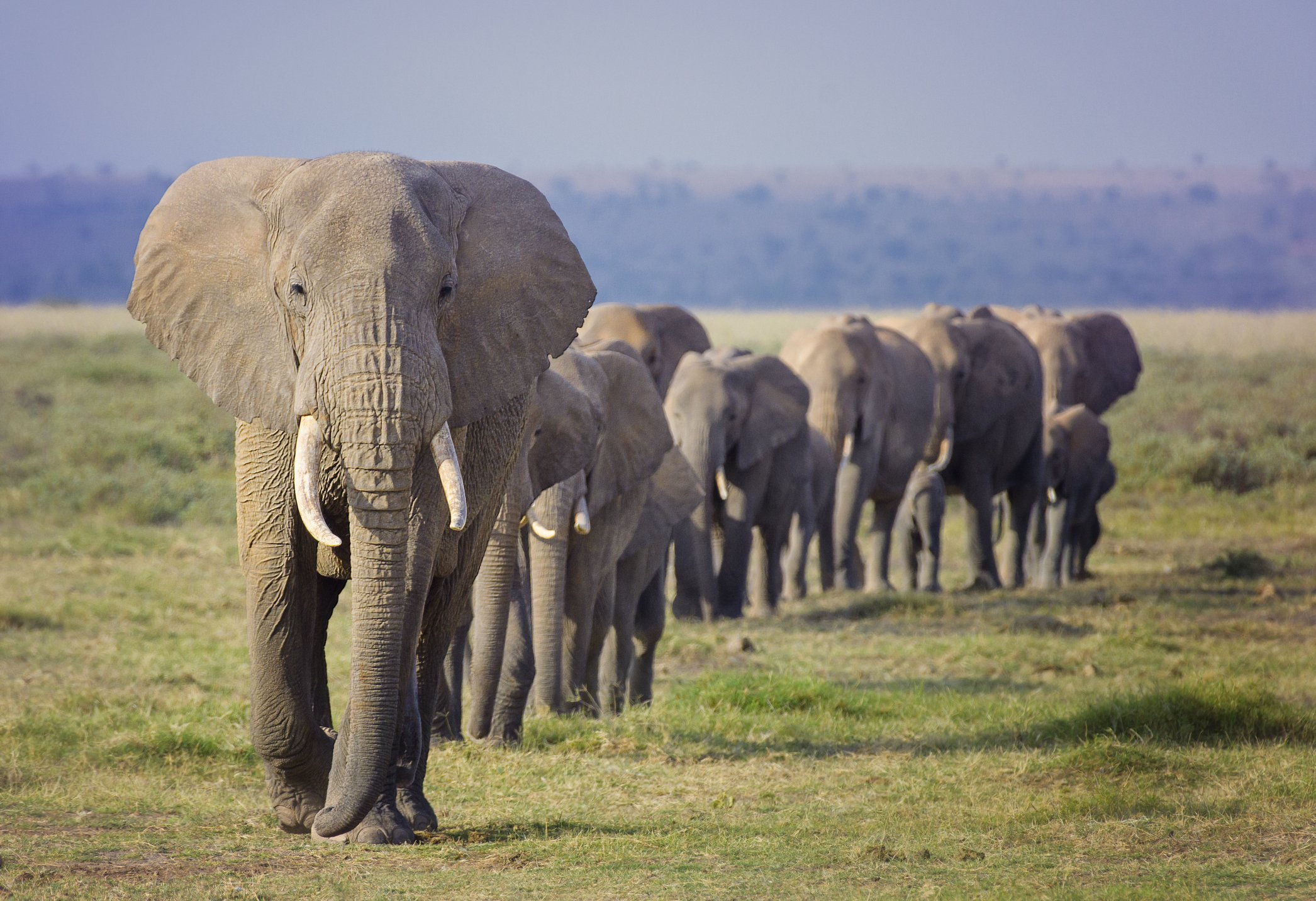 A herd of African Elephants march in a line toward a water hole at Amboseli National Park, Kenya.   Photo: Getty Images