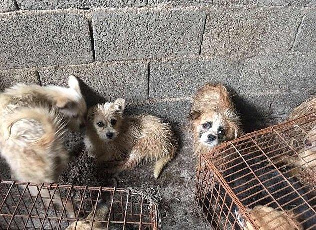Más de 60 perros fueron rescatados del un matadero, en China. | Foto: HSUS