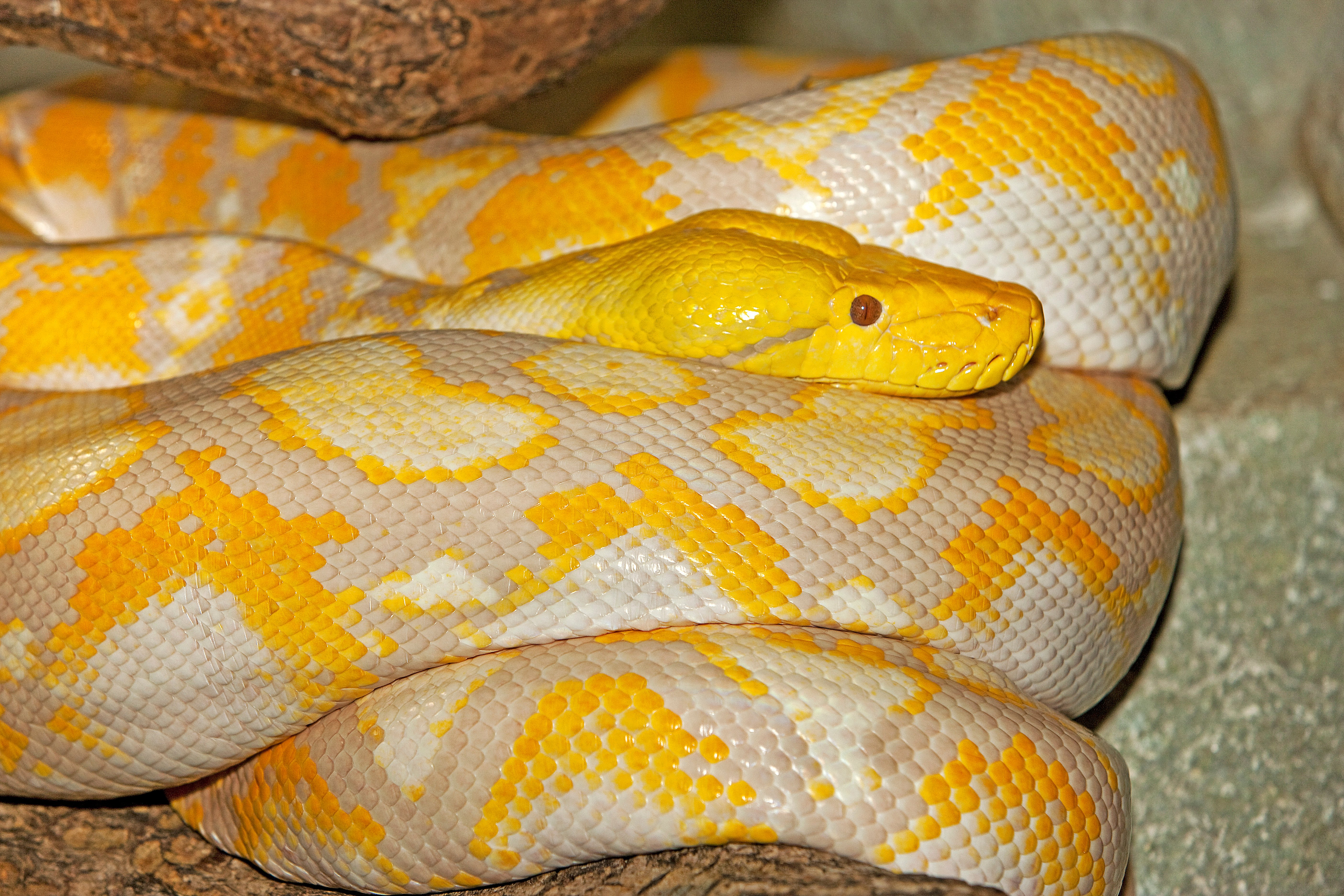 An albino reticulated python similar to the one who bit Walter Erhard   Photo: Shutterstock