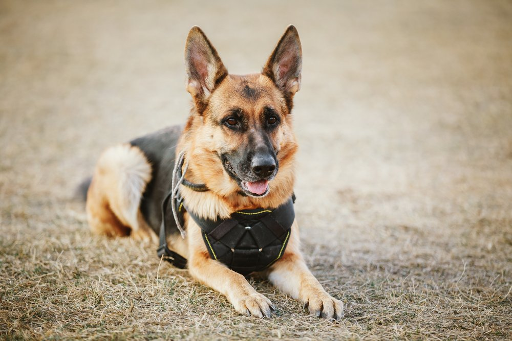 A brown German Sheep police dog obediently sitting on the ground   Photo: Shutterstock/Grisha Bruev