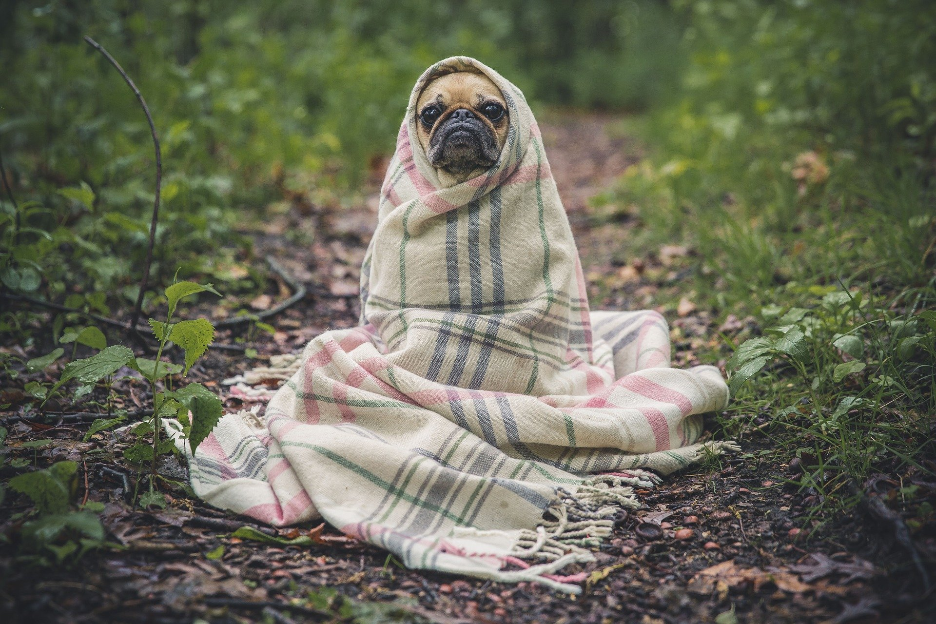 A Pug Dog cosily wrapped in a blanket.   Source: Pixabay.
