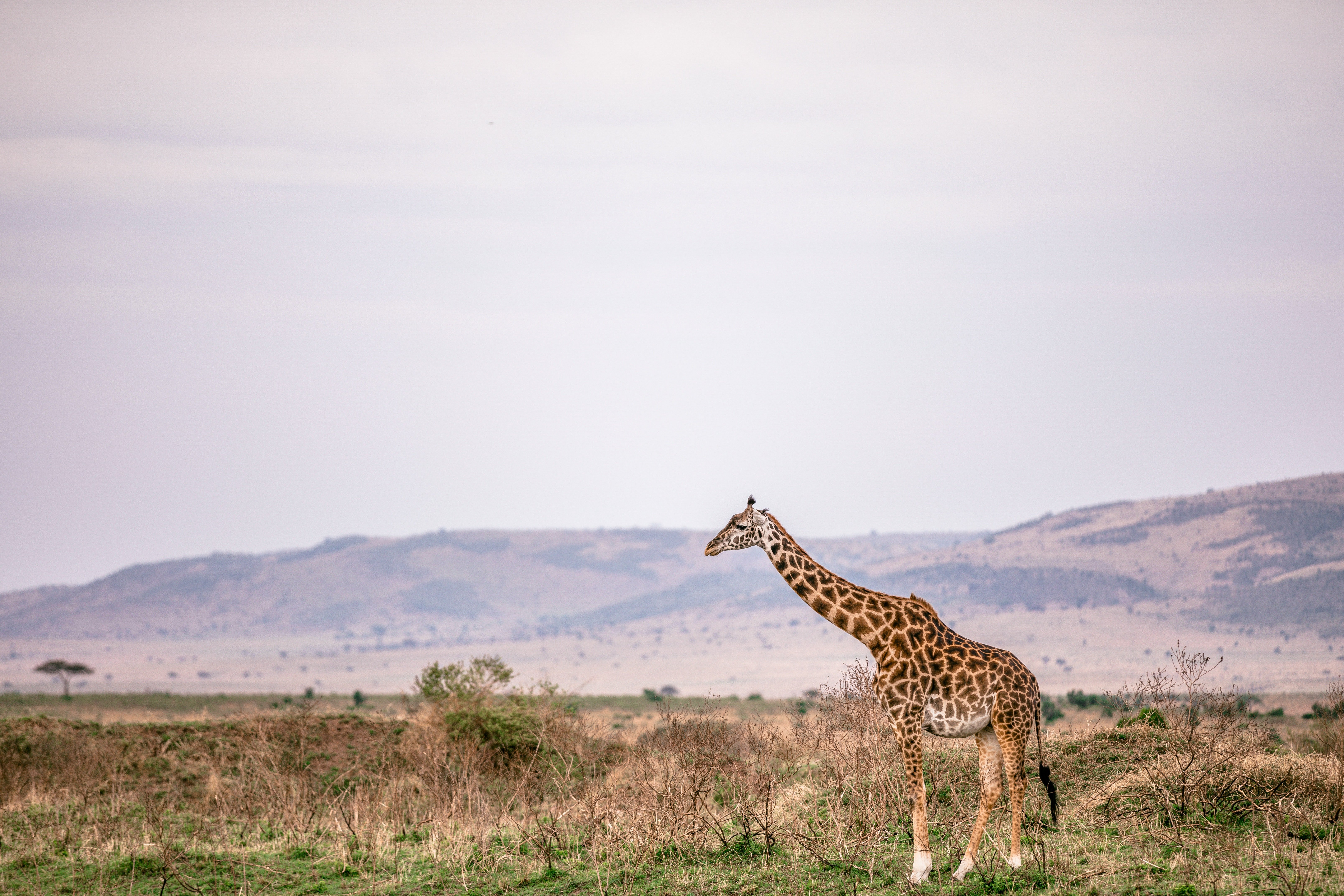 Pictured - An image of a giraffe standing on a grassy meadow | Source: Pexels