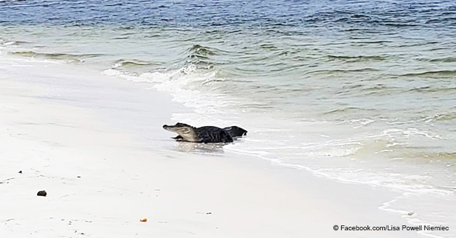 Huge Alligator Makes Unexpected Appearance on a Popular Florida Beach