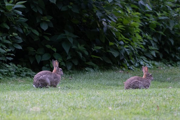Rabbits enjoying the coolness in the morning in the Tiergarten. | Photo: Getty Images