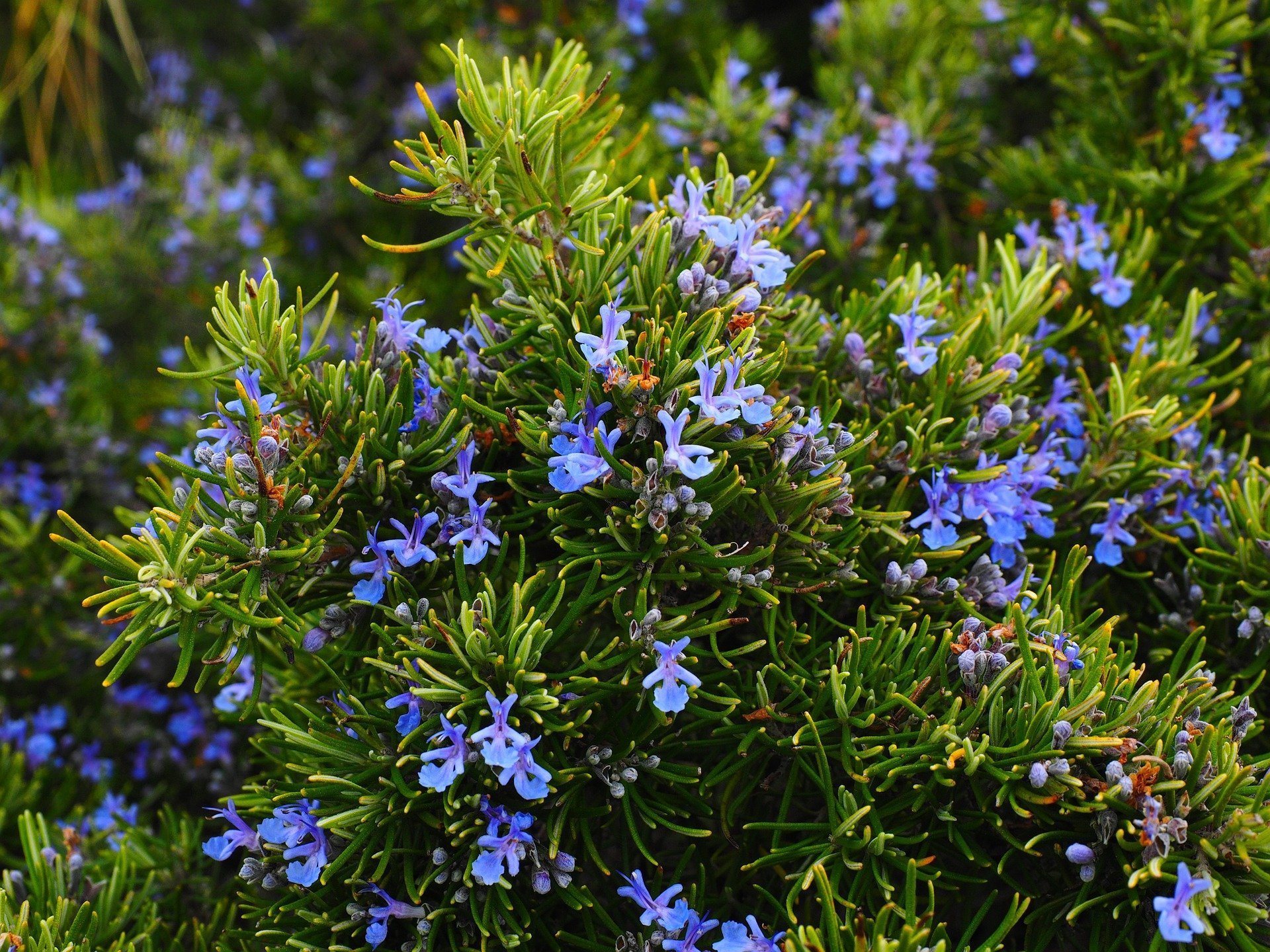 A picture of a rosemary plant. | Photo: Pixabay