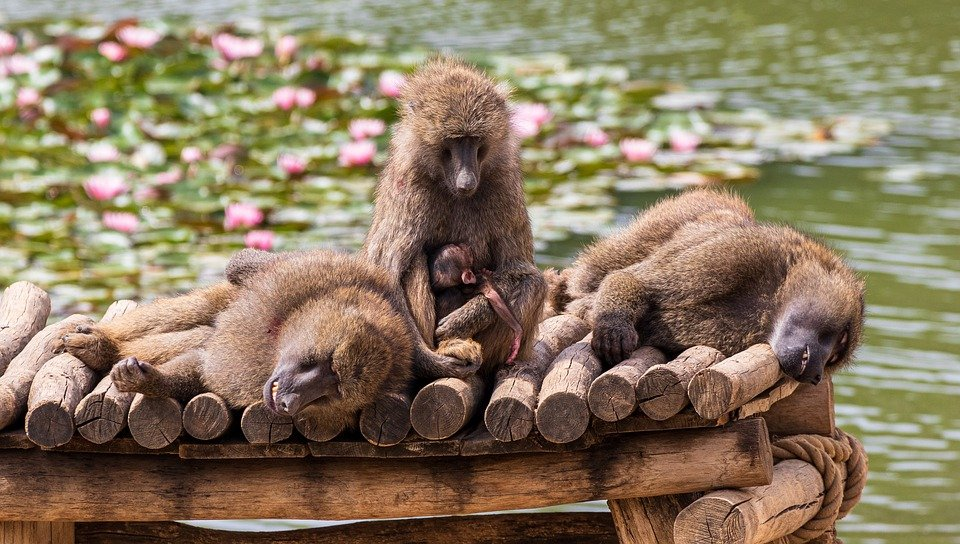 A troop of Apes seating on a dock at a water side   Photo: Pixabay