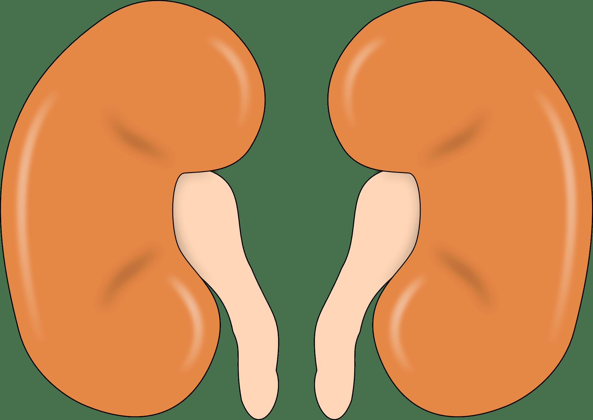 Riñones. Fuente: Pixabay