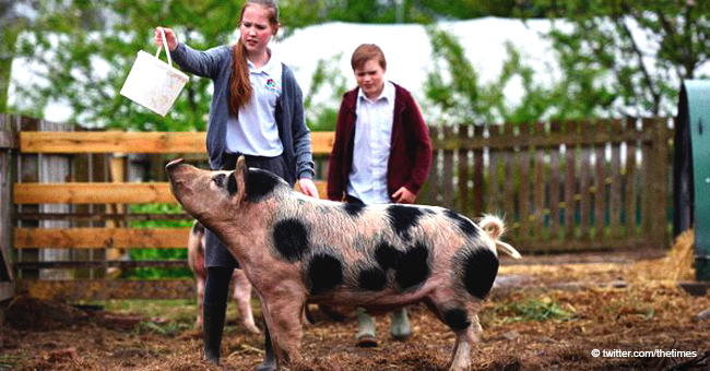 Grade School Sparks Outrage for Its Decision to Slaughter Pet Pigs Kept on Its Farm