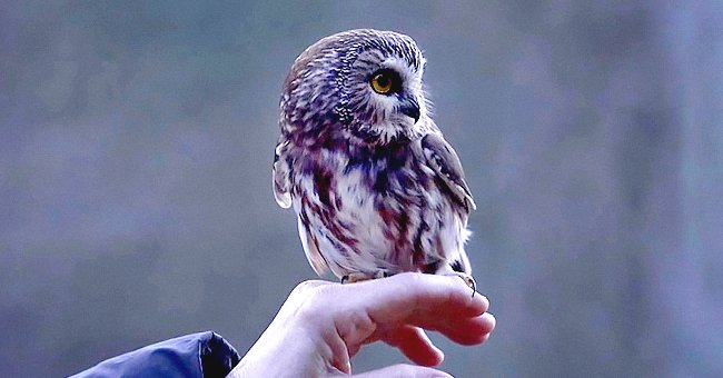 Tiny Owl Rescued from the Rockefeller Center Christmas Tree Is Returned to the Wild