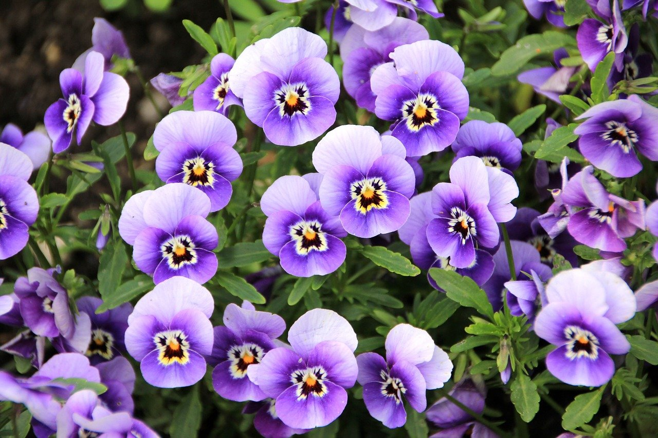 A garden filled with fully bloomed pansies   Photo: Pixabay/AnnaER