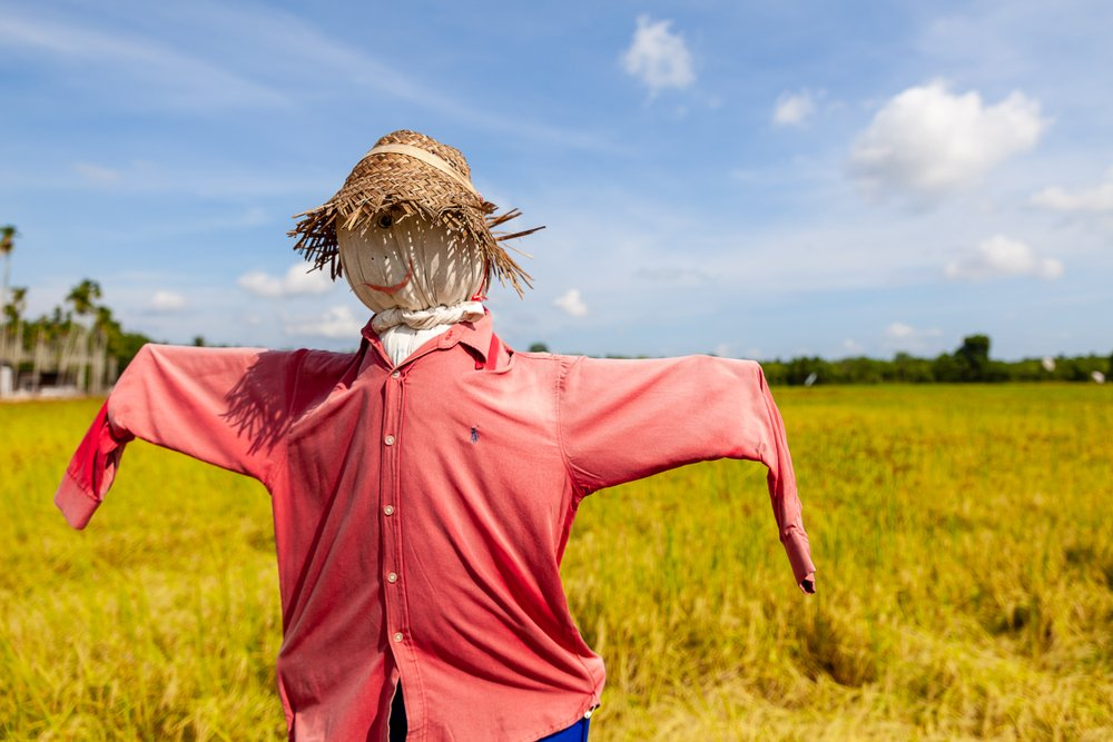 A photo of a scarecrow in rice field.   Photo: Shutterstock