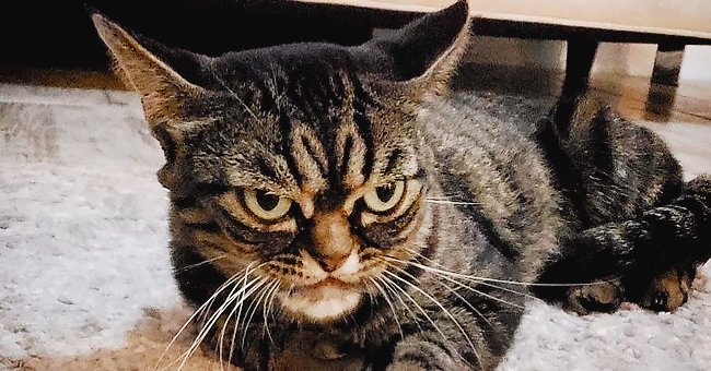 Meet Kitzia, the Angry Grumpy Cat That Looks Even More Thundering Than Its Predecessor