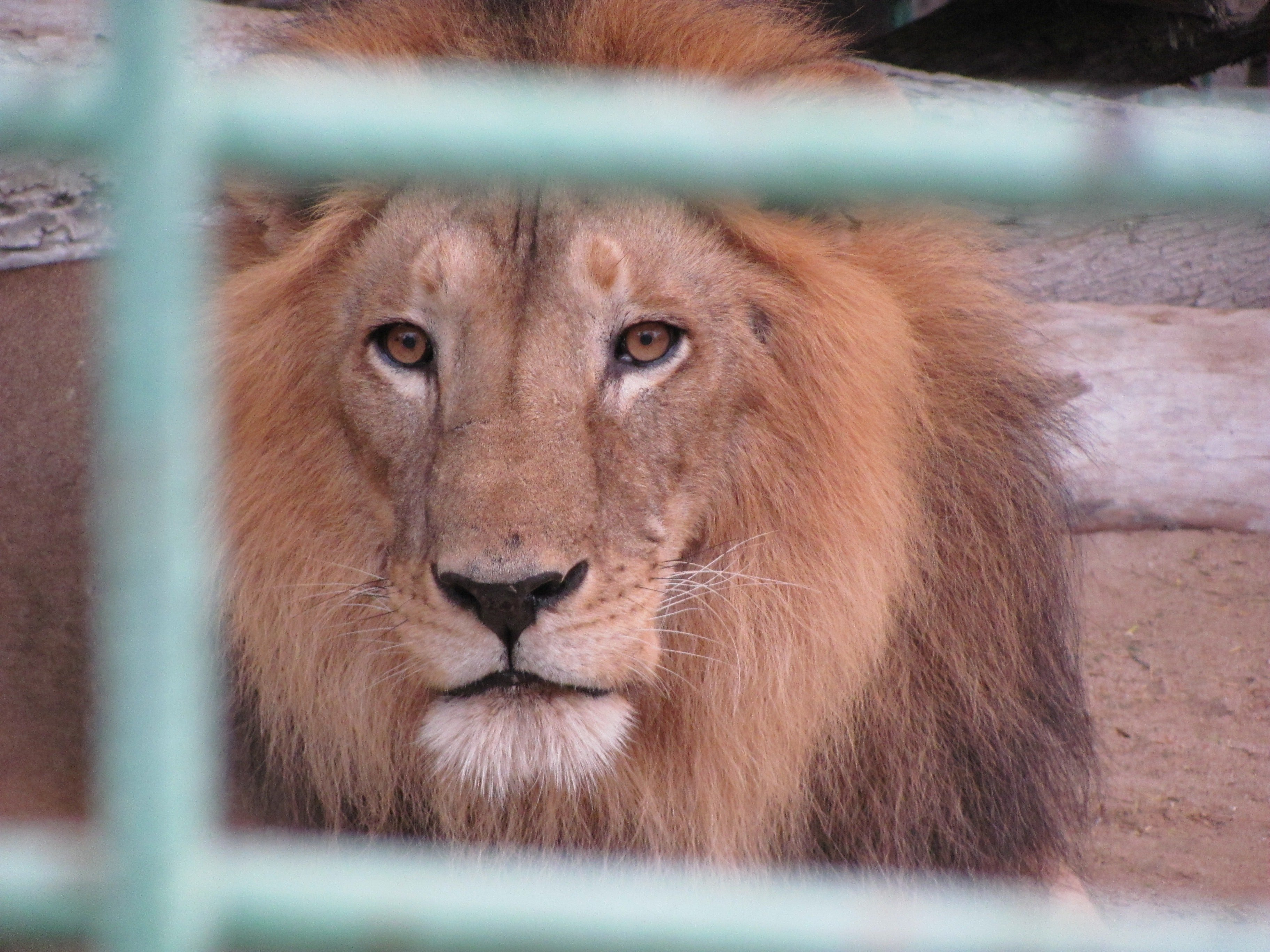 As per the president's request, the sick deer was taken to the lion's cage, where another surprise awaited him.   Photo: Pexels