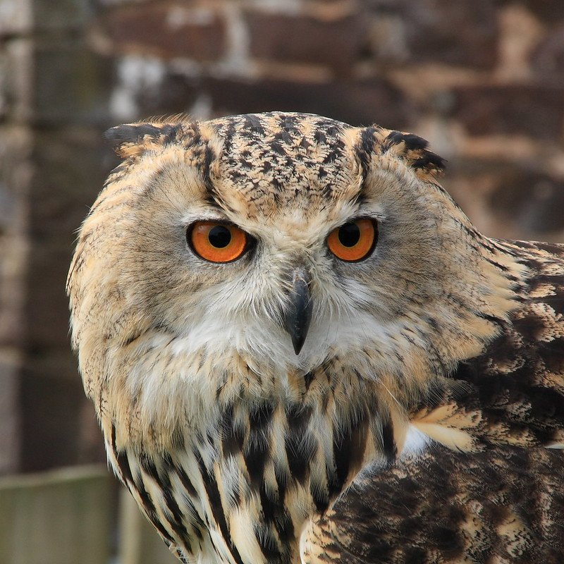 A picture of a True Owl. | Photo: Flickr