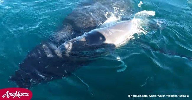 Les dauphins héros: comment ils ont sauvé une mère baleine et son baleineau des baleines à bosse mâles (vidéo)