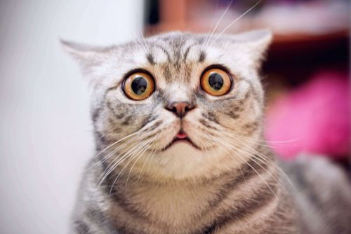 A cat staring into the lens with wide eyes. | Source: Shutterstock