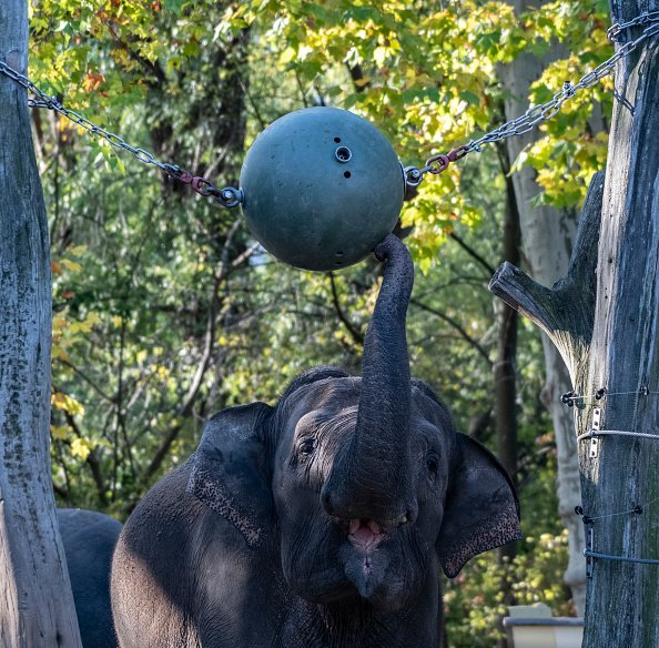 An elephant plays in the zoo with an oversized ball hanging between two trees | Photo: Getty Images