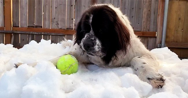 Maggie Bears is pictured on her snow mound as she plays with her ball. | Photo: facebook.com/HappyTailsDogHiking