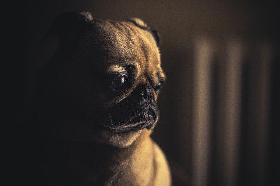Un chien regardant ailleurs.   Photo : Pixabay