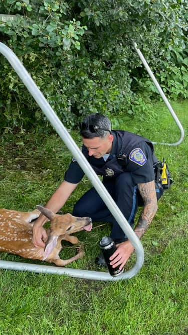 A police officer can be seen offering an injured deer some water | Photo: Facebook/Foxborough Police Department