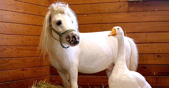 Waffles and Hemingway, Rescued 'Inseparable' Mini Horse and Goose Pair, Find a Forever Home