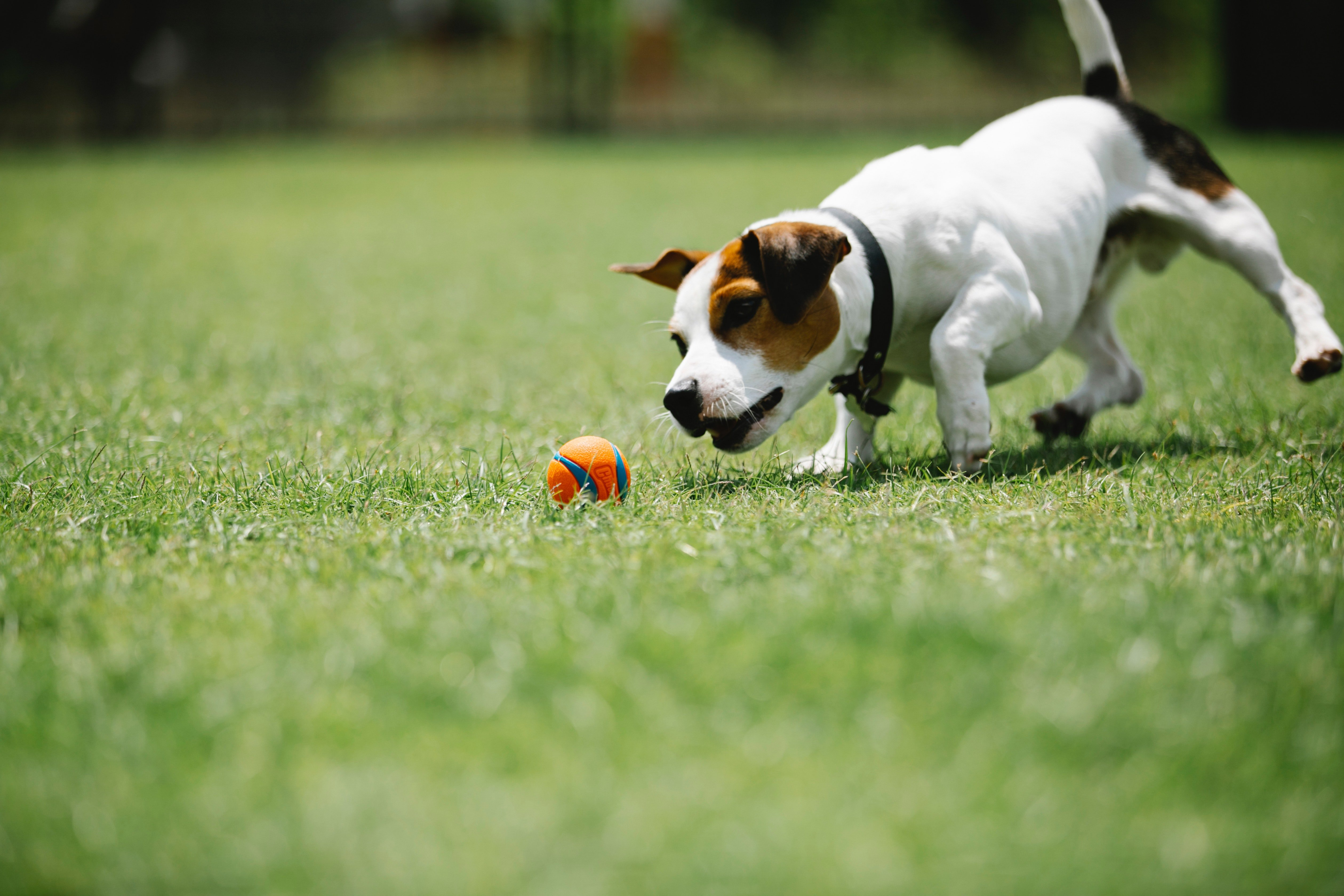 A dog playing with a ball in the lawn. | Photo: Pexels/Blue Bird