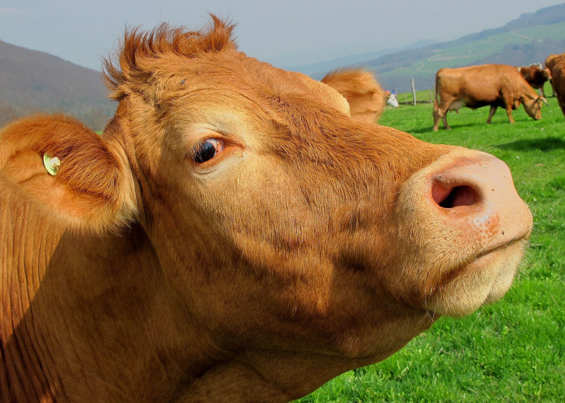 Close up of a brown cow. | Source: Pixabay