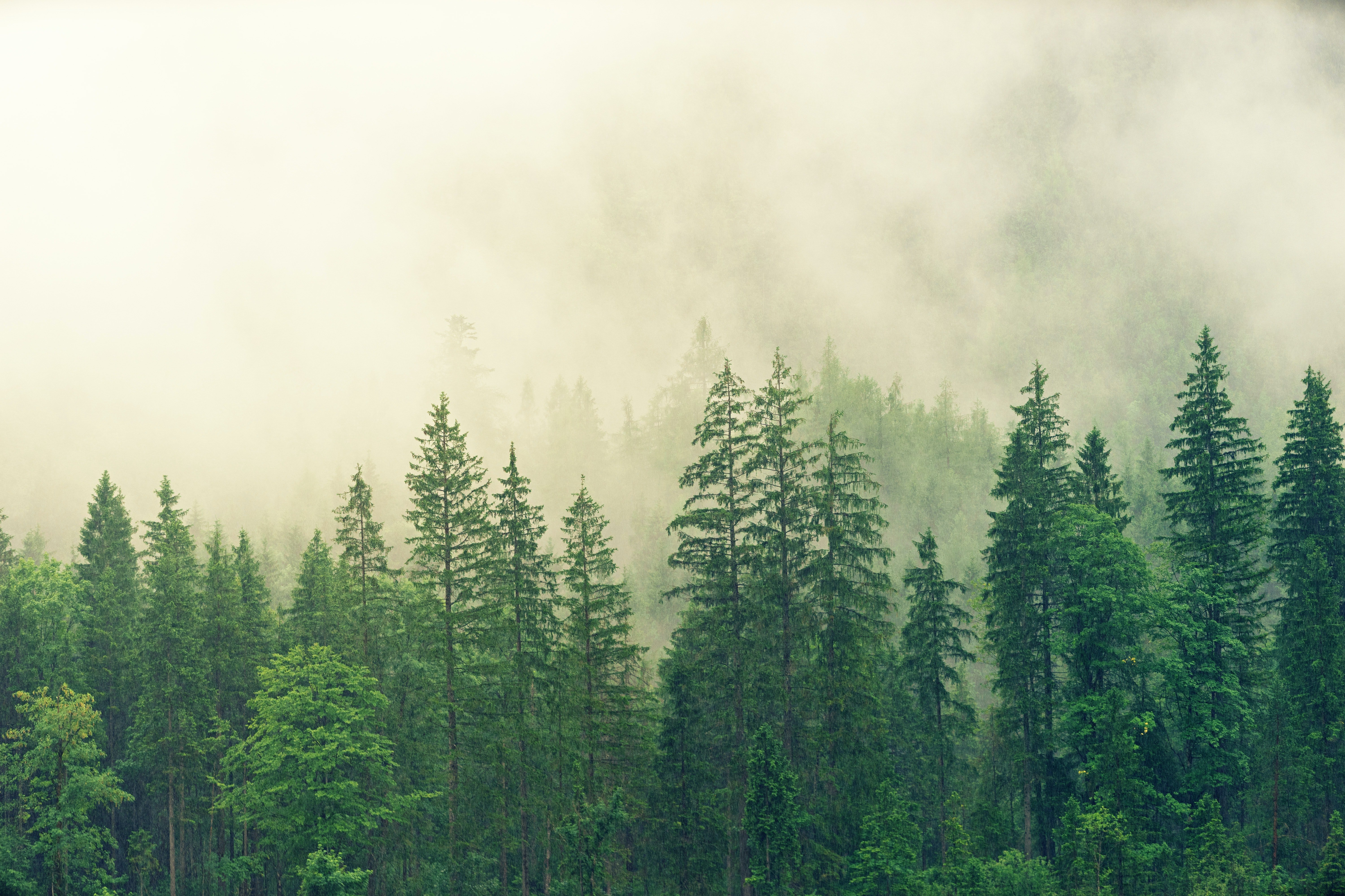 Pictured - A forest covered in white fog   Source: Pexels