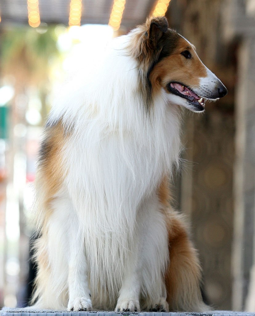 Lassie attends the Bill Geist Hollywood Walk Of Fame Induction Ceremony | Getty Images