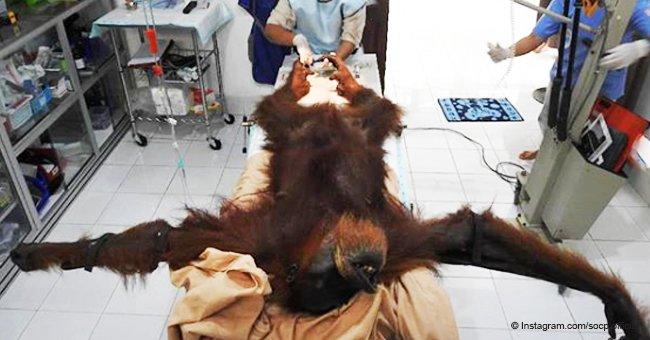 Orangután torturado y disparado con 74 balas de rifle de aire comienza a recuperarse