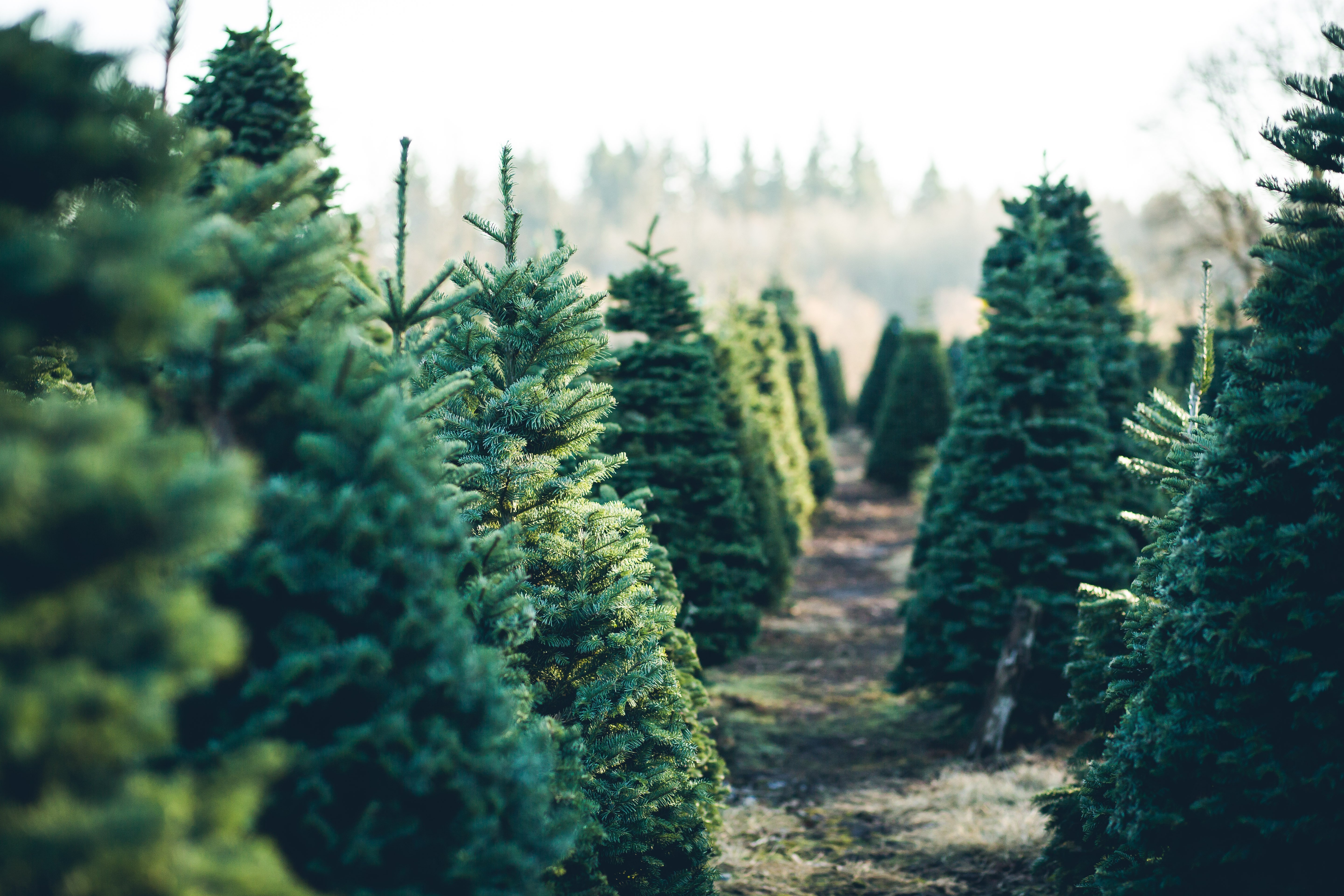 Trees in Rows at a Christmas Tree Farm | Photo: Shutterstock.com