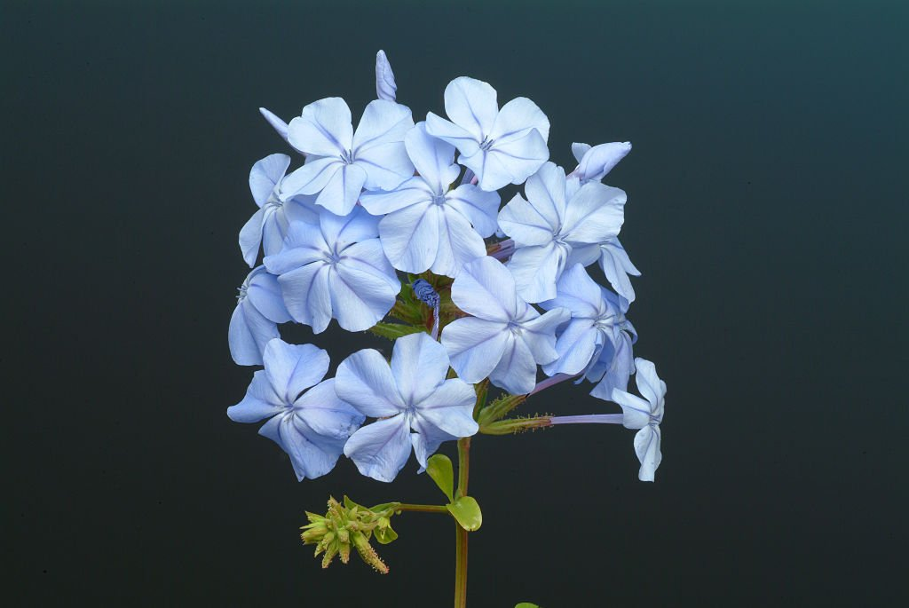 Plumbago bleu | Photo : Getty Images