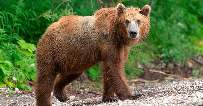 A young brown bear walking in its natural habitat   Photo: Shutterstock