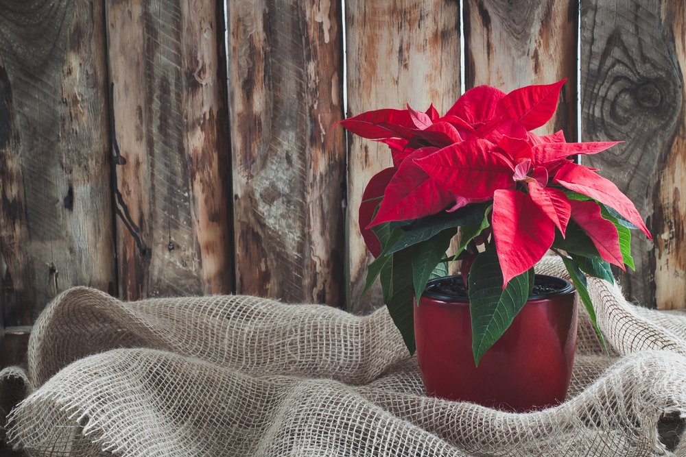 A Christmas Poinsettia on a vintage wooden background.   Photo: Shutterstock