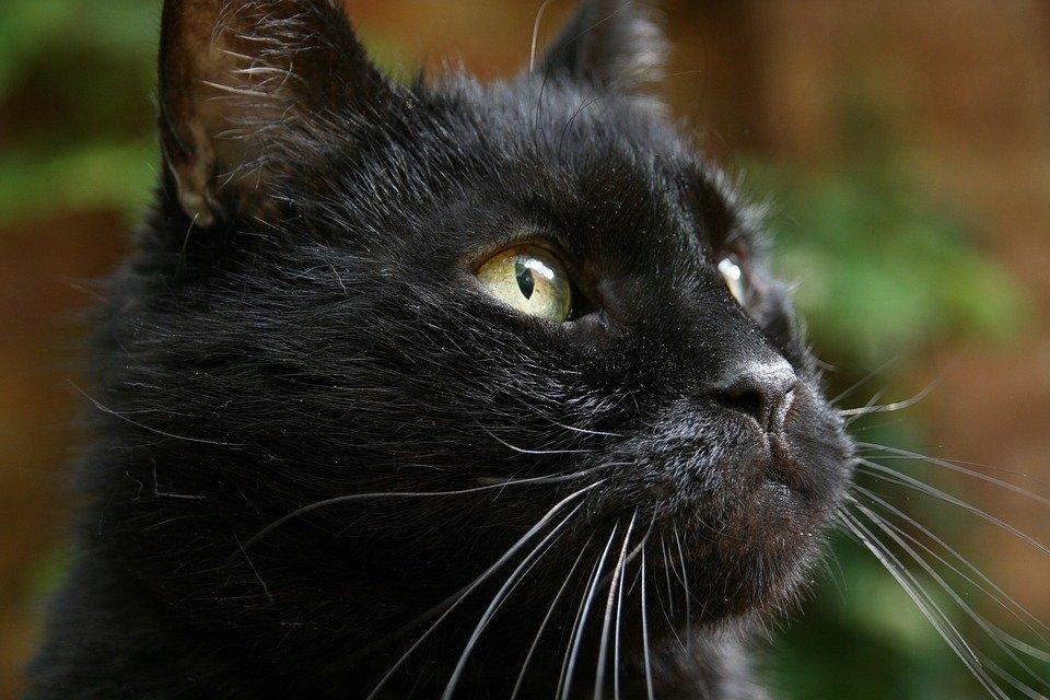 Gato / Imagen tomada de: Pixabay