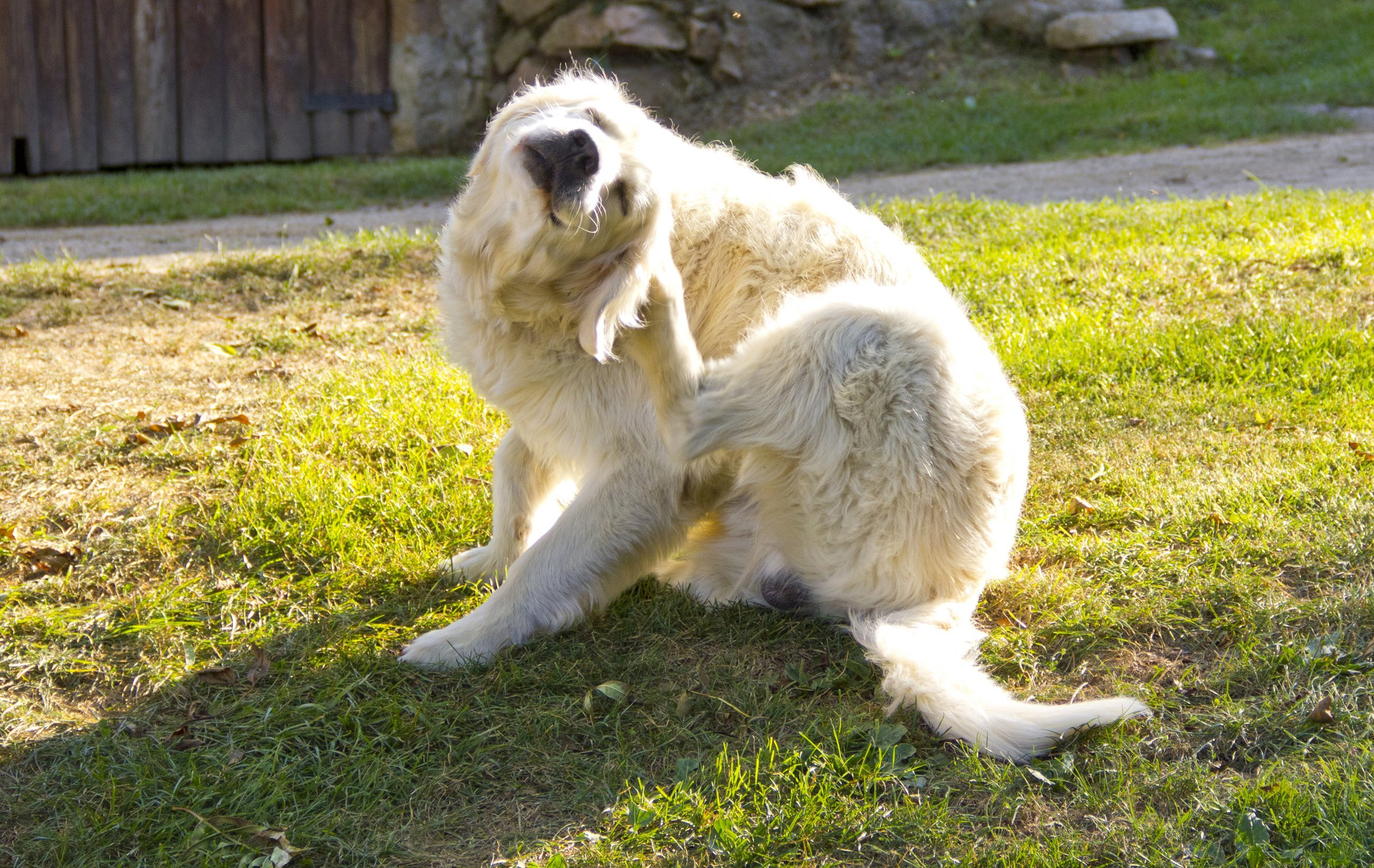 A white dog scratching | Photo: Shutterstock