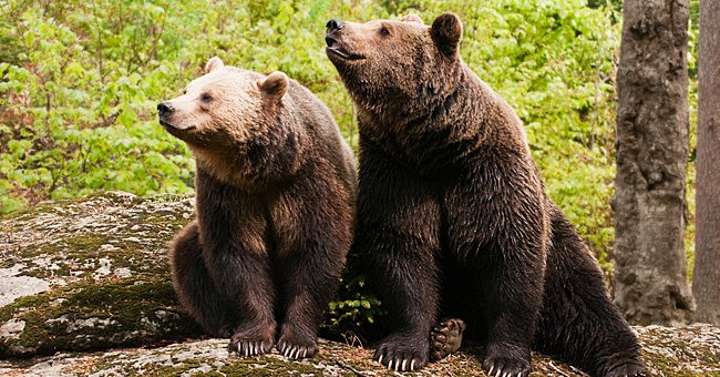 2 Bears in UK Zoo Are Euthanized after Escaping from Their Enclosure and Attacking a Wild Boar