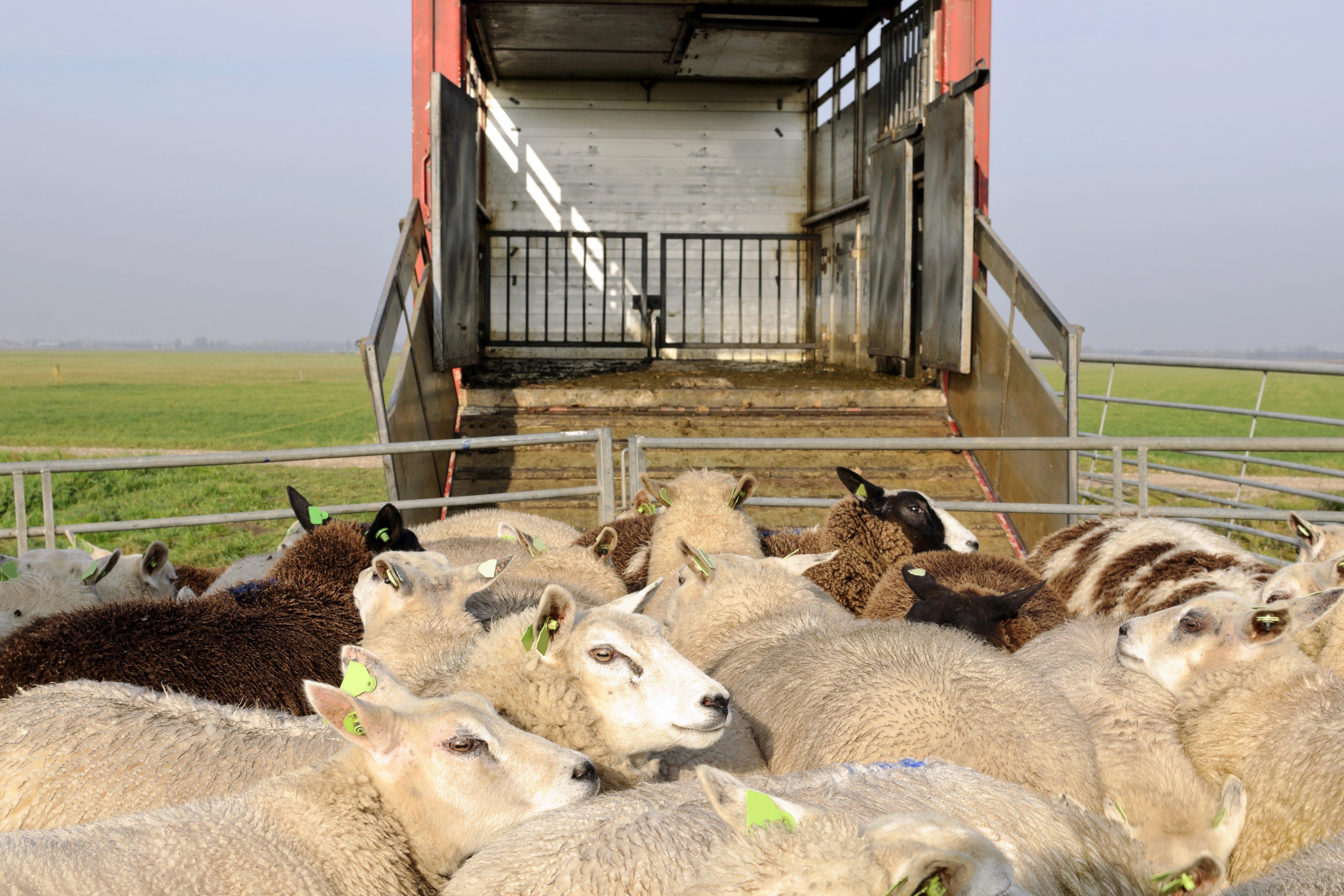 Ovejas entrando a un camión. Fuente: Shutterstock