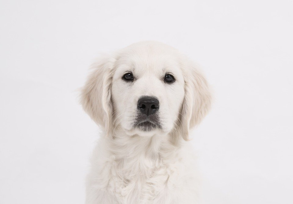 Cachorro blanco | Foto: Pixabay