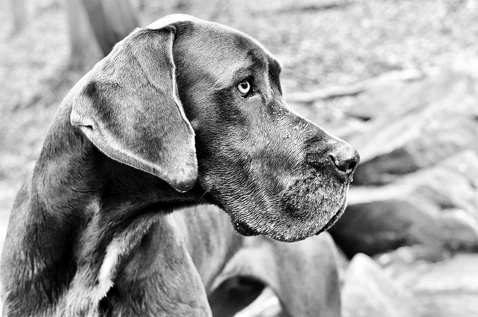 Fragile Dogue Allemand│ Image : Pixabay